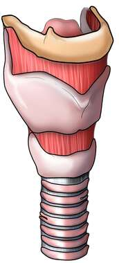 Larynx with Hyoid Bone, Tracheal Cartilage and Trachea