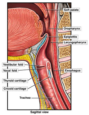 Anatomy of the Throat and Upper Respiratory Tract