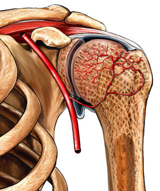 Vascular Structures of the Humeral Head