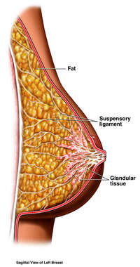 Normal Breast Anatomy