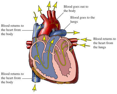 Cardiac Cycle - Blood Flow Through The Heart