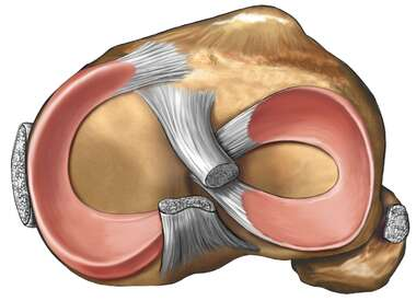 Knee Joint with Ligaments: Superior Cut-Away View