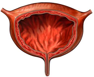 The Urinary Bladder