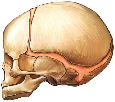 Fetal Skull, Lateral View
