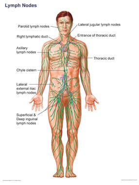 Lymphatic System