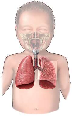 The Respiratory System in a Child