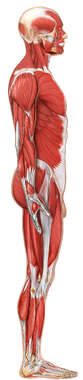 Anatomy of the Muscular System: Lateral View