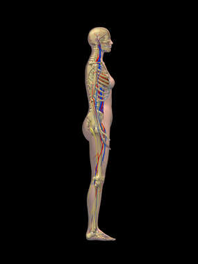 Lateral Female Figure with Skeletal, Cardiovascular and Nervous Systems