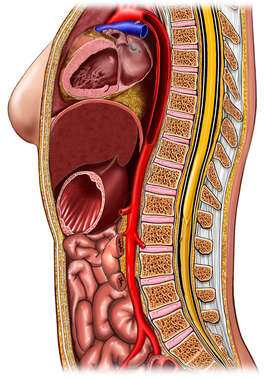 Cross Section of Abdomen