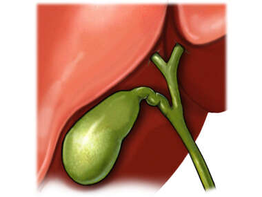 Gallbladder, Anterior View