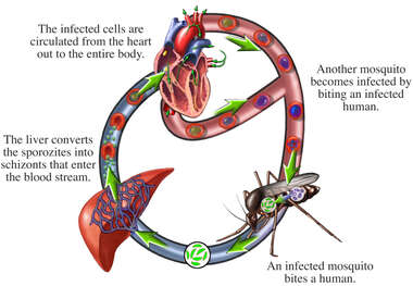 Malaria Cycle