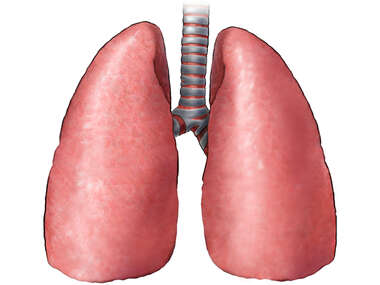 Lungs- Posterior view