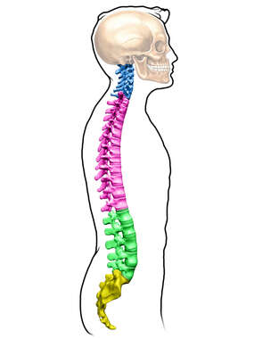 Regions of the Spine, Male