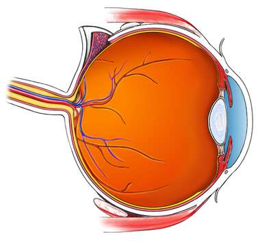 Cut Section of the Eye