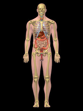 Digestive System - 3D Male