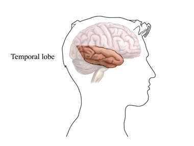 The Temporal Lobe of the Brain