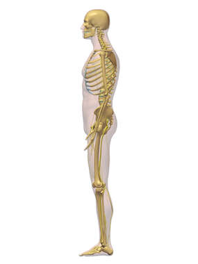 Lateral Skeletal System - 3D Male