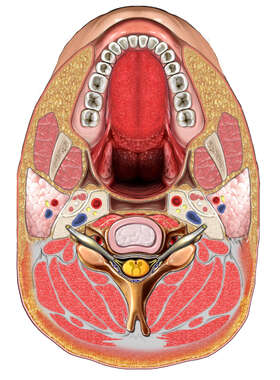 Cross Section of Head