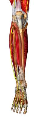 Musculature of the Leg: Anterior View