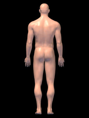 Posterior Anatomy-3D Male