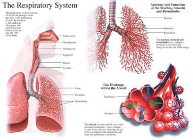 Anatomy and Functions of the Respiratory System