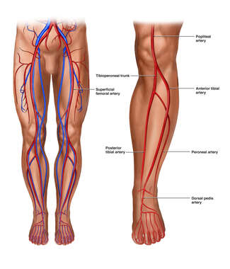 Vascular Anatomy of the Lower Body