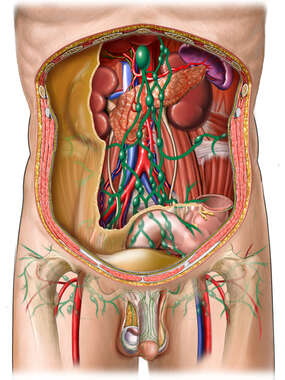 Lymph Vessels and Nodes of Posterior Abdominal Wall and Penis