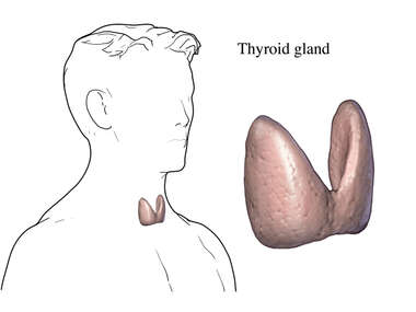 The Thyroid Gland
