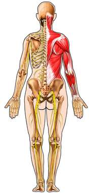 Female Figure with Musculature, Bones, and Nerves: Posterior View