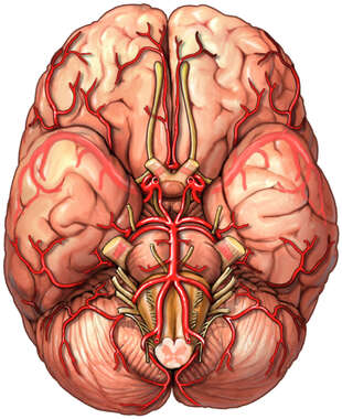 Brain with Arteries and Cranial Nerves, Inferior View