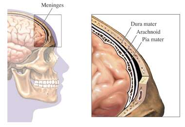 The Meninges of the Brain