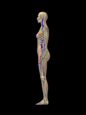 Lateral Female Figure with Skeletal, Nervous and Cardiovascular Systems