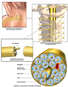 Anatomy of a Spinal Nerve in den Plexus brachialis