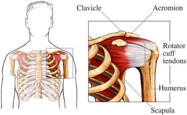 The Shoulder and Rotator Cuff Tendons