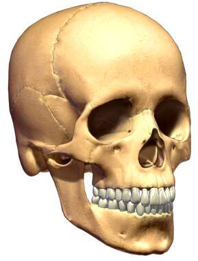 Adult Skull 3D, Anterior/Lateral View