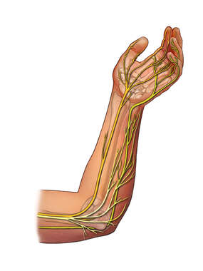 Innervation of the Forearm