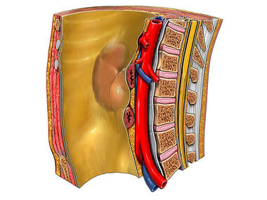 Internal Body Wall with Aorta, Cut-away View