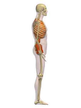 Male Lateral Muscular (deep) System