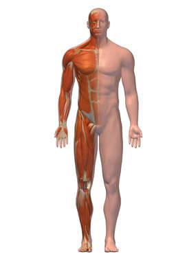 Anterior Male Figure with Musculature