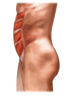 Abdominal Muscles: Lateral View