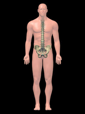 Skeletal System -3D Male
