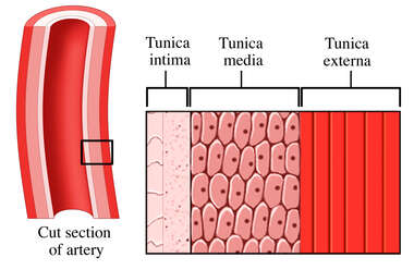The Coats (Layers) of an Artery
