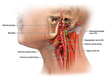 Anatomy of the Carotid Artery