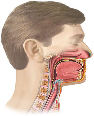 Lateral Head in Cut-away view with Oral Cavity and Pharynx During Swallowing