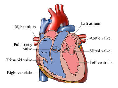 Valves and Chambers of the Heart
