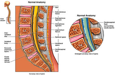 Normal Anatomy of the Lumbo-Sacral Spine