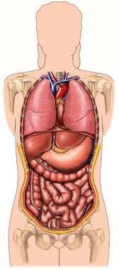 Abdominal and Thoracic Organs