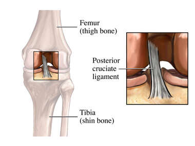 The Posterior Cruciate Ligament