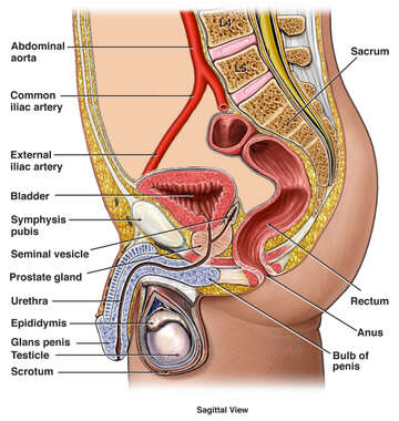 Anatomy of the Male Urogenital (Reproductive) System