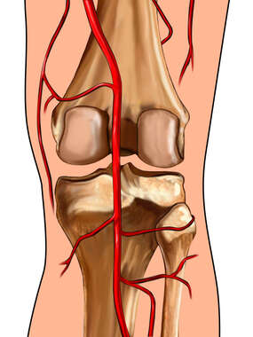 Knee with Arteries: Posterior View